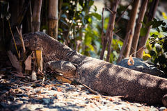 Water monitor : Varanus salvator. Asian animal Stock Image