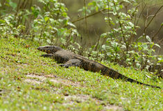 Water Monitor (Varanus salvator) Stock Photo