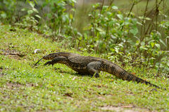 Water Monitor (Varanus salvator) Royalty Free Stock Photos