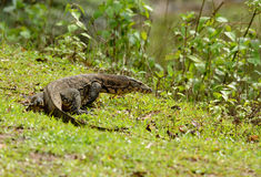 Water Monitor (Varanus salvator) Royalty Free Stock Images