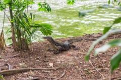 Water monitor,Varanus salvator black large standing Stock Photo