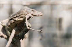 Water monitor or Varanus salvator on branch. Predator animal Stock Image