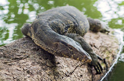 Water Monitor (Varanus salvator) Royalty Free Stock Photo