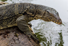 Water Monitor (Varanus salvator) Stock Photography