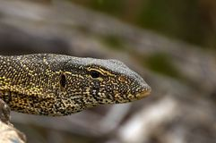 Water monitor (Varanus salvator) Stock Image