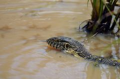 Water monitor (Varanus salvator) Stock Photos