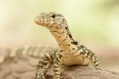 Water monitor or Varanus salvator is a large lizard. Royalty Free Stock Photo