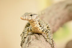 Water monitor or Varanus salvator is a large lizard. Royalty Free Stock Image