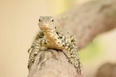 Water monitor or Varanus salvator is a large lizard. Royalty Free Stock Image