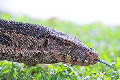 Water Monitor. Stock Images