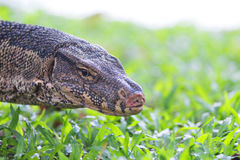 Water Monitor. Stock Photo