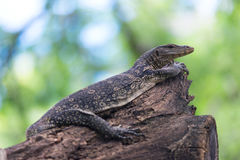 Water Monitor. Stock Image
