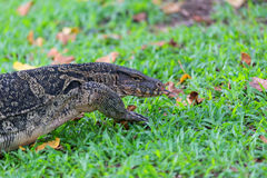 Water Monitor. Royalty Free Stock Photos