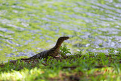 Water Monitor. Royalty Free Stock Image