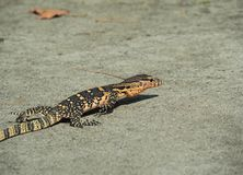 Water Monitor, Varanus Salvator, Monitor Lizard Crawling On Ground Stock Image
