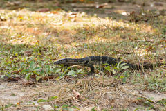 Water monitor Stock Image