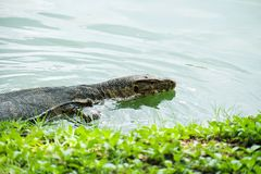 Water Monitor Varanus salvator is swimming in the pond. stock photo