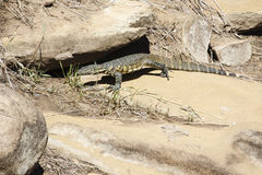 Water monitor Stock Photography