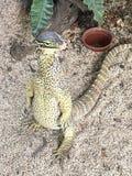 Water monitor. Watermonitor komodo lizards Stock Photo