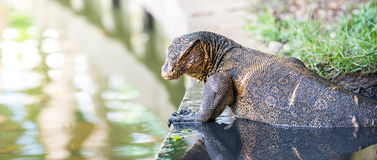 Water monitor Stock Photo