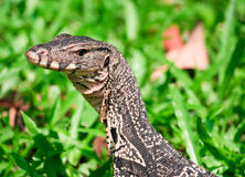 water monitor in yard Stock Images