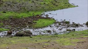Trickle of water moves over moss covered shore to the sea. Water moves to shore over mossy shoreline stock footage
