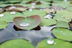 Water op een lotusbloemblad royalty-vrije stock afbeeldingen