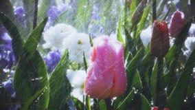 Water over tulips in garden rain or sprinkler. Spring park scene with rain over beautiful tulips in luxury garden - watering flowers artificial or natural rain stock video