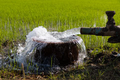 Free Water Overflowing With Rice. Royalty Free Stock Photo - 79022725