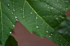 Water on papaya leaf stock photo