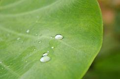 Water pearl drop on green leaf. Royalty Free Stock Photography