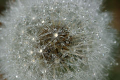 Water pearls on dandelion Stock Photo