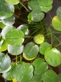 Water Pennywort Royalty-vrije Stock Afbeeldingen