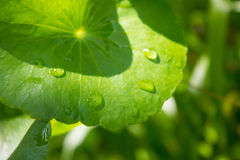 Water Pennywort, asiatica Centella Royalty-vrije Stock Afbeeldingen