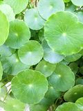 Water pennywort background. Close up of water pennywort leave background or texture Stock Photography