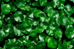 Water Pennywort, Centella asiatica background Stock Photos