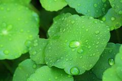 Water Pennywort Royalty Free Stock Photo