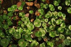 Water Pennywort, eeuwigdurend aquatisch onkruid royalty-vrije stock afbeelding