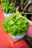 Water Pennywort Royalty Free Stock Image
