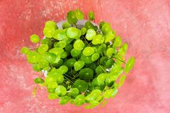 Water Pennywort Stock Images