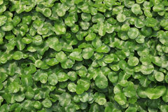 Water Pennywort in the garden Stock Photos