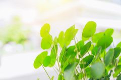 Water Pennywort green plant bright nature. Fresh background Royalty Free Stock Photos