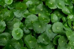 Water Pennywort - Hydrocotyle umbellata and its flower Stock Photos