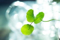 Water pennywort macro close up view Stock Images