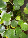 Water Pennywort. Plant royalty free stock images