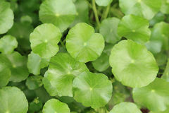 Water pennywort plant, green leave plants look so fresh. Stock Images