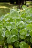 Water pennywort plant. In nature garden Royalty Free Stock Photo