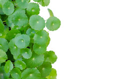 Water Pennywort Stock Image