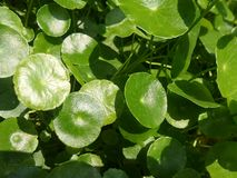 Water Pennywort in small pond. Sun light in little round green leaves of Water Pennywort in the pond Stock Photos