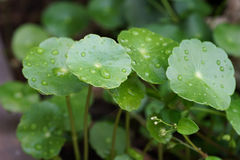 Water Pennywort with water drops.  Stock Photos